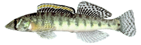 Logperch fish